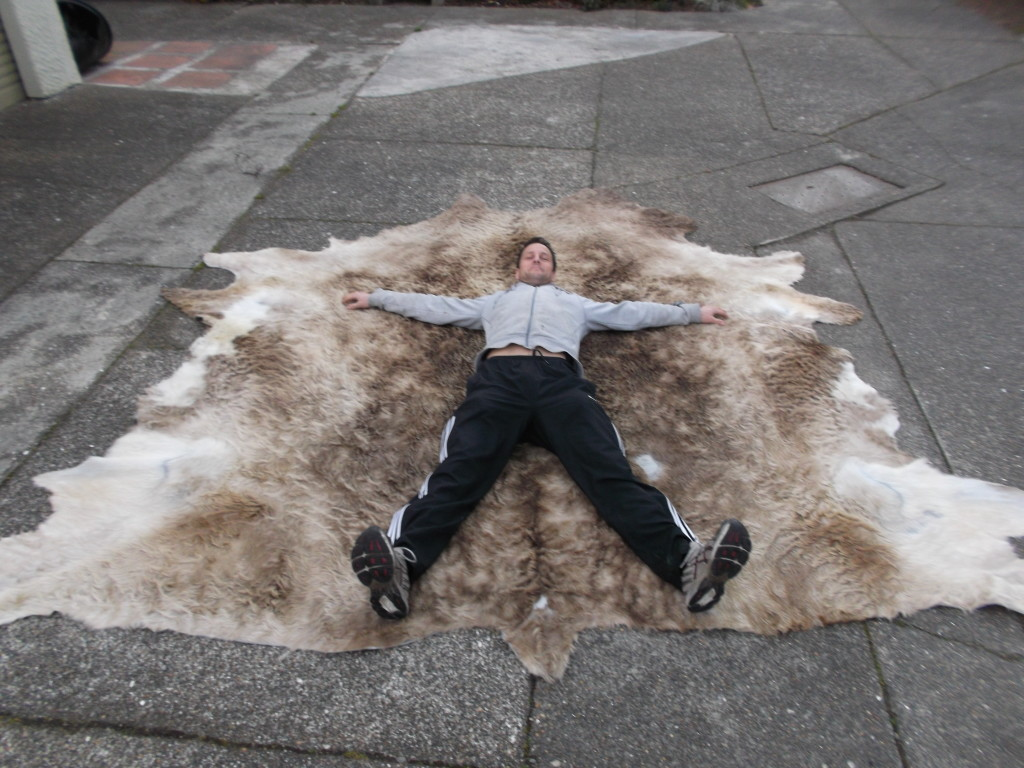 Massive  cow hide